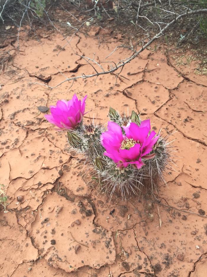 Cactus flower blooming!